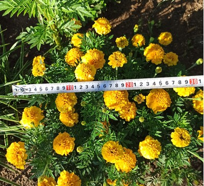 Семена Бархатцы махровые  низкорослые желтые (семенная коробочка)