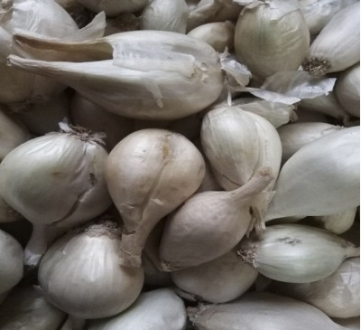 Семена лук-шалот СНЕЖОК