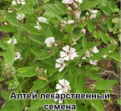 Семена Алтей лекарственный (столовая ложка)