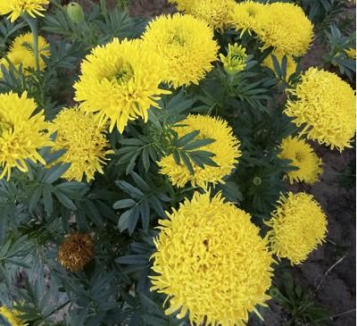 Семена Бархатцы ХРИЗАНТЕМНЫЕ  махровые желтые (семенная коробочка)