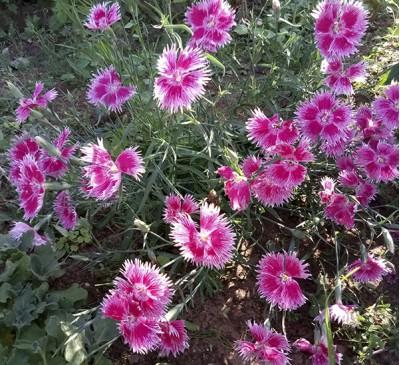 Семена Гвоздика многолетняя микс (10 штук)