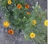 Семена Бархатцы низкорослые