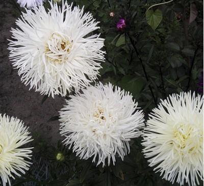 Семена Астра белая