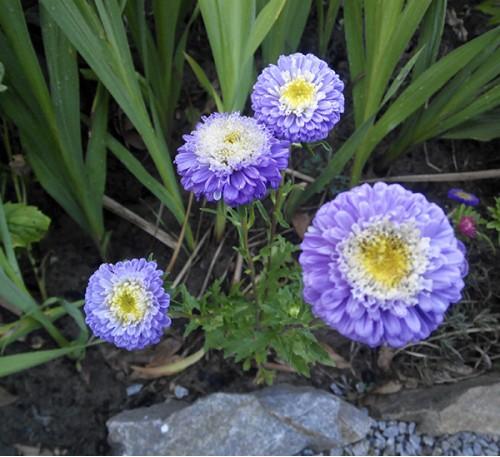 Семена Астра мелкоцветковая голубая