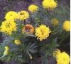 Семена Бархатцы махровые желтые
