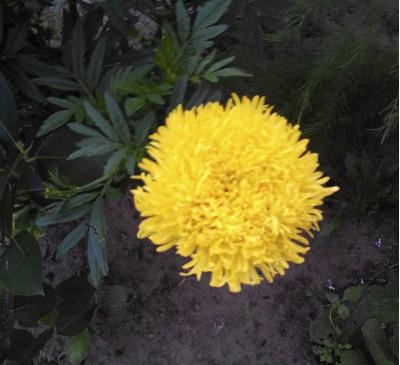Семена Бархатцы ХРИЗАНТЕМНЫЕ  махровые желтые