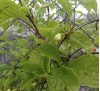Лимонник китайский (нет в наличии)