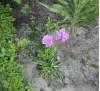 Армерия высокорослая розовая
