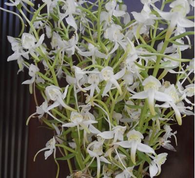 Дикая орхидея (ночная фиалка)