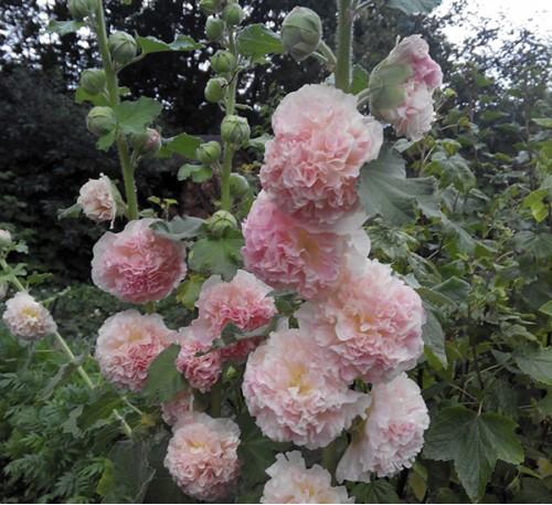 Семена Мальва махровая желто-розовая