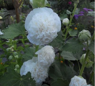 Семена Мальва махровая белая