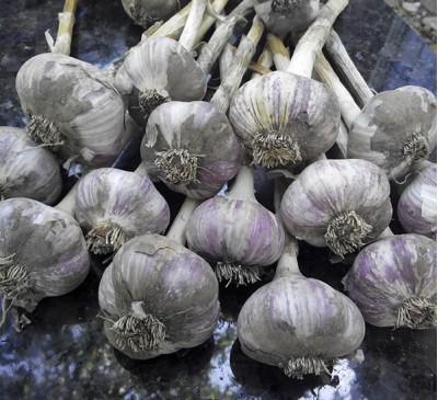 Семена Чеснок озимый Гигант (нет в наличии)