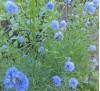 Семена Гилия