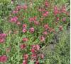 Семена Лен крупноцветный  розовый