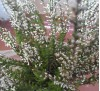 Вереск белого цвета