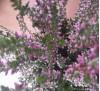 Вереск малиновый